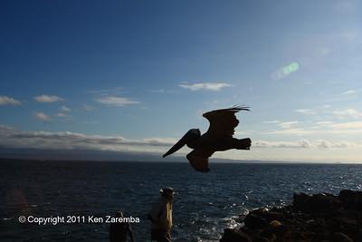 Brown Pelican on Isla Norte Seymour 11/01/08
