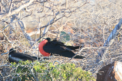 Nesting pair of Magnificent Frigatebirds, North Seymour Island 11/01/08