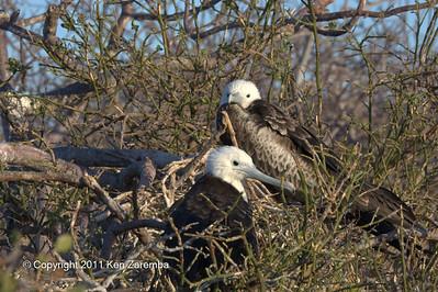 Juvenile Magnificent Frigatebirds, North Seymour Island 11/01/08
