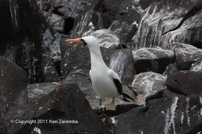 Nazca Booby, Isla Espanola 11/02/08