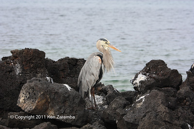 Great Blue Heron at Cerro Drago, Isla Santa Cruz 11/06/08