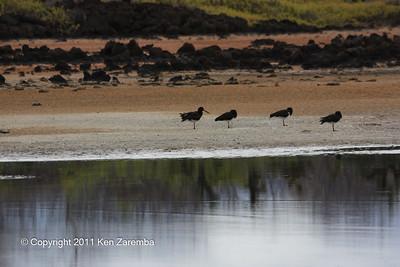 American Oystercatchers at Serro Dragon, Isla Santa Cruz 11/06/08