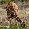 Red-billed Oxpecker & Reticulated Giraffe