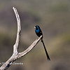 Steel-blue Whydah
