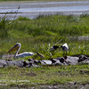 Great White pelican, Sacred Ibis & Common Squacco Heron and hippos