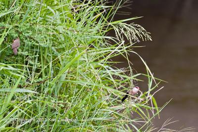 Common Waxbill