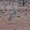 Kori Bustard, Mashatu Game Reserve, Botswana