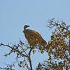 African White-backed Vulture, Mashatu Game Reserve, Botswana