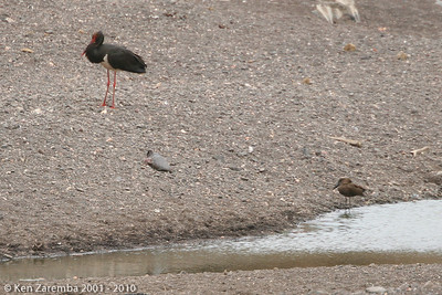 black stork and a hamerkop