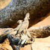 Grey Go-away-bird, Grey Lourie, Mashatu Game Reserve, Botswana