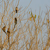 Red-faced Mousebird, Mashatu Game Reserve, Botswana