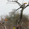 Southern Yellow-billed Hornbill, Mashatu Game Reserve, Botswana