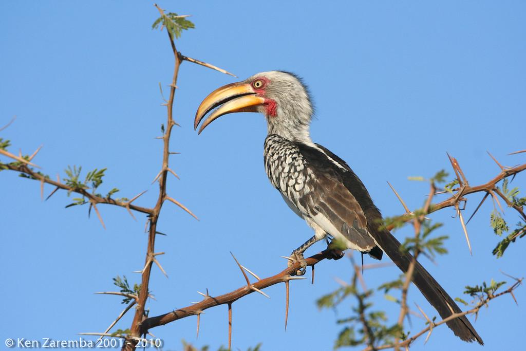 Southern Yellow-billed Hornbill ( tockus leucomelas )