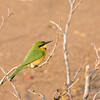 Little Bee-eater, Mashatu Game Reserve, Botswana