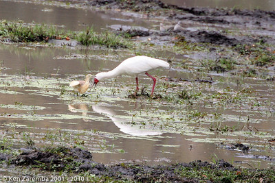 Squacco heron and an African spoonbill