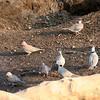 Laughing Dove and Cape Turtle-Dove, Mashatu Game Reserve, Botswana