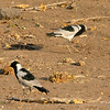 Blacksmith Lapwing (Plover), Mashatu Game Reserve, Botswana