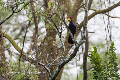 Ross's Turaco/Ross's Lourie