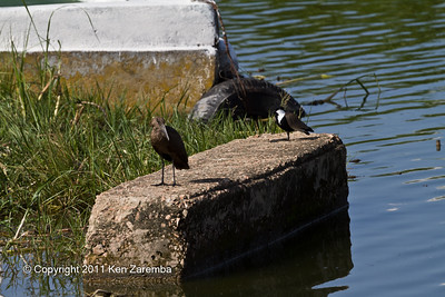 Spur-winged Lapwing and Hamerkop
