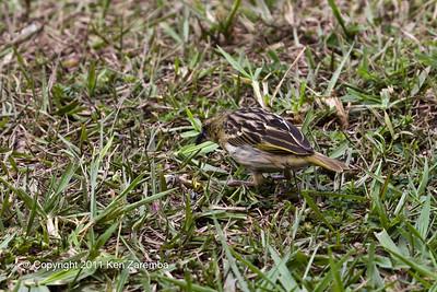 Female Yellow-backed Weaver