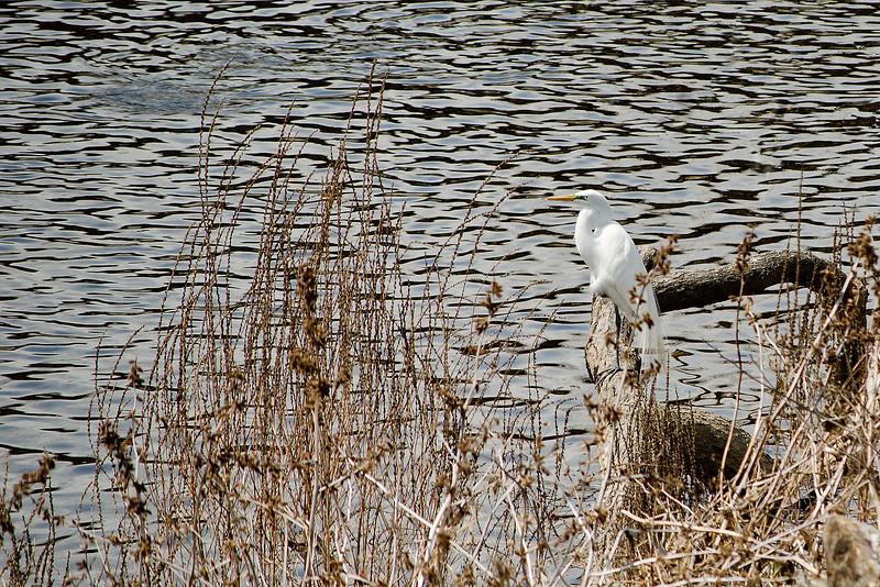 Great Egret on Codorus Creek