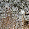 Great Egret on Codorus Creek