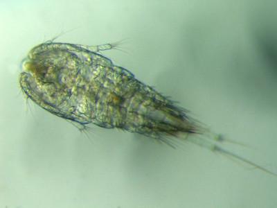 Zooplankton-Copepod