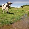 Agriculture-Cows-Phosphorus
