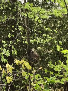 Raccoon climbing tree, Sleeping Bear Park
