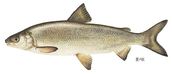 LakeWhitefish