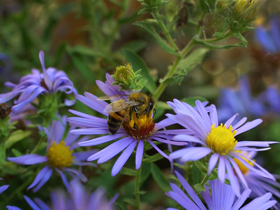 Honey-Bee-Purple-Aster