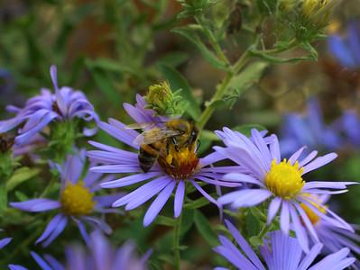 Honey-Bee-Purple-Aster