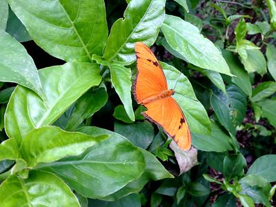 Julia-Heliconian-Butterfly