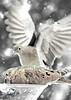 Doves at the feeder - 72 ppi