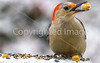 Backyard bird --0038 - 72 ppi