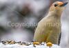 Backyard bird --0036 - 72 ppi