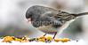 Backyard bird --0009 - 72 ppi