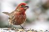 Backyard bird --0086 - 72 ppi