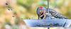 Birds at feeder & suet box - 11-13-2018-2 - 72 ppi