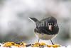 Backyard bird --0008 - 72 ppi