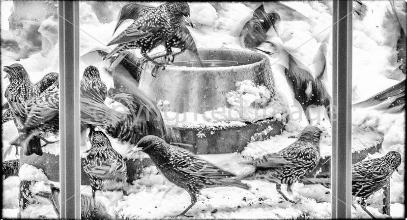 A winter's window view -- European Starlings at feeding time - 72 ppi
