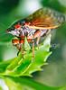Cicada - May 2011-6 - 72 ppi