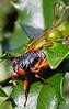 Cicada - May 2011-5 - 72 ppi