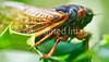 Cicada - May 2011-7 - 72 ppi