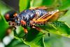 Cicada - May 2011-1 - 72 ppi