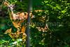 Deer in back yard - May 2014-0015 - 72 ppi