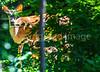 Deer in back yard - May 2014-0002 - 72 ppi