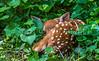 Deer in back yard - May 2014-0001 - 72 ppi