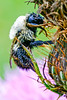 Wet-from-the-rain bumblebee on a thistle along the Blue Ridge Parkway - 72 dpi -0041