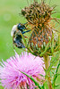 Wet-from-the-rain bumblebee on a thistle along the Blue Ridge Parkway - 72 dpi -0028